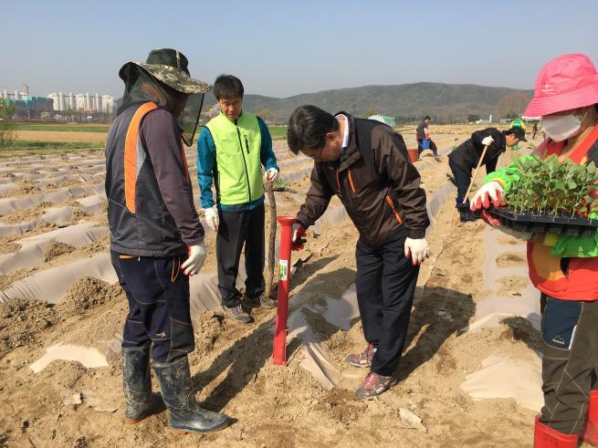 장수지팡이 재료 명아주 이식(2016.04.15.)